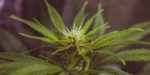 Présidentielle américaine: certains Etats votent la dépénalisation et la légalisation des drogues